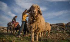 Devlet Destekli Hayvancılık İşi Kurmak – Hayvancılık Destekleri 2020